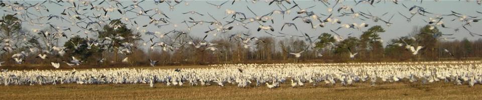 Snow Goose Hunting Delaware